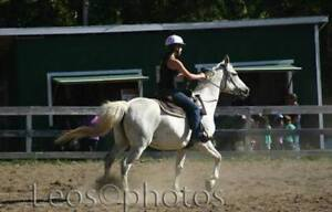 14 year old Arab/QH cross mare