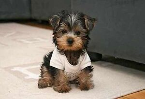 WANTED SMALL BREED puppy or dog