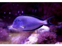 marine fish / NICE LITTLE 3-4 INCH JUVENILE SOHAL TANG
