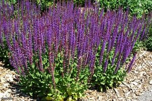 WOODLAND SAGE - SALVIA NEMOROSA - 200 seeds