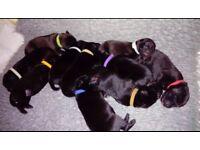 Labrador cross ridgeback puppies