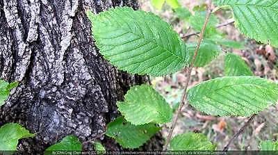 (FREE GIFT! SLIPPERY ELM INNER BARK POWDER NON-GMO BULK HERB TEA-1,2,3,4,5 LB-USA)