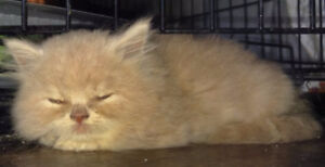 RED PERSIAN KITTENS LOOKING FOR THEIR FOREVER HOME
