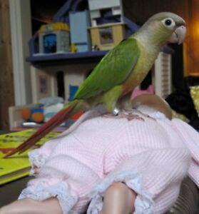 ❤️⭐❤️Baby⭐Conures with Cage❤️⭐❤️