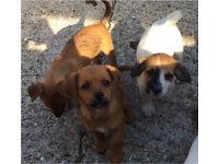 Ruff coat jack cross Puppys