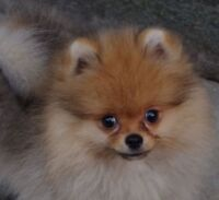 Cute! Female Pomeranian Puppy Available