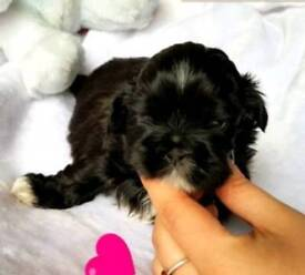 Mini shih tzu puppy girl available