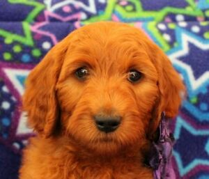 Goldendoodle Guardian Homes Wanted