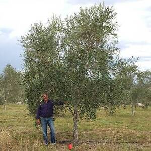 Mature Olive Tree Extra Large Centre Piece Ipswich City Preview