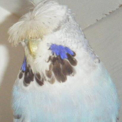Wanted crested Show Budgies
