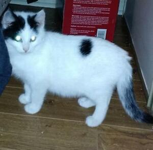 """Baby Male Cat - Domestic Short Hair: """"Patches"""""""