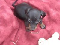 MINI DACHSHUND PUPPPIES HOME RAISED