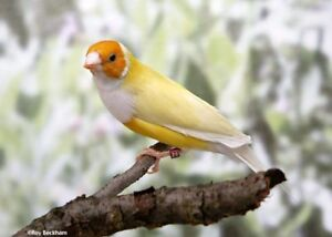 Gouldian Finch. Yellow backed Male.