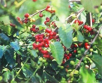 10 PK HAWAIIAN KONA COFFEE Flower SEEDS ~ GROW HAWAII