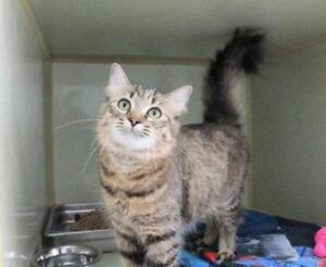 "Adult Female Cat - Domestic Medium Hair: ""Sherbert"""