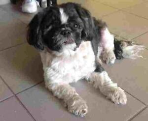"Adult Male Dog - Shih Tzu: ""LUCKY"""