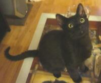 Young Male  - Domestic Short Hair-black