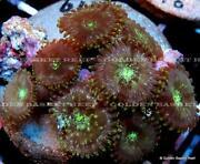 Live Coral