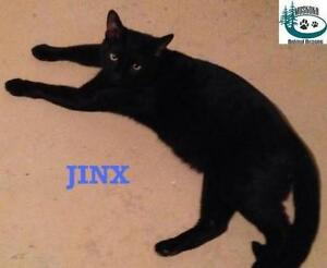 "Young Male Cat - Domestic Short Hair: ""Jinx - Social Butterfly!"""