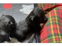 For Sale Scottish Terrier Pups