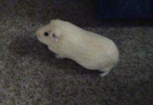 Affectionate Guinea Pig For Adoption