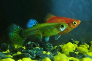 Bébés poissons guppy et platy