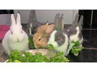 House rabbit baby PAIRS
