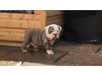 Lilac and Tan tri girl Puppy for sale