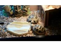 Horsefield tortoise x 2 £400