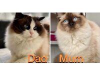 Beautiful Big Ragdoll Kittens 😻 4 left