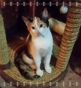 "Young Female Cat - Calico: ""Daisy"""