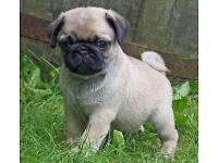 5 beautiful pug puppy's for sale