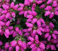 (4 Pack) 9cm Pot Heather Erica Cineria Purple Robe Summer Flowering Upright - growon shrubs - ebay.co.uk