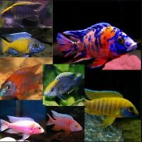 Cichlids Wanted
