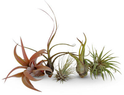 5 Pack Assorted Tillandsia Easy Care Air Plants Collection FREE SHIPPING (Easy Care House Plants)