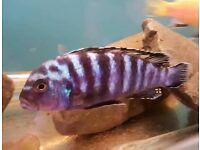adult male Malawi cichlid