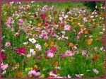 fleurdeschamps51