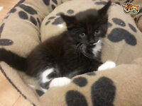 beautiful male black and white kitten