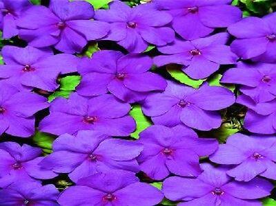 Usado, 50 Impatiens Seeds Impatiens Cascade Beauty Lilac segunda mano  Embacar hacia Argentina