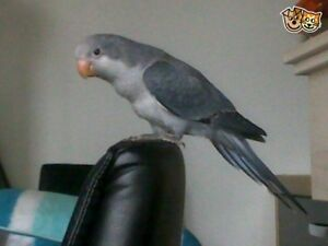 baby grey/ dark blue quaker parrot handfed for sale
