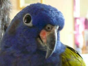 Pionus à tête bleu