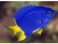 Yellow tailed damsel saltwater marine fish FREE