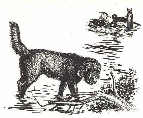 OTTERHOUND - 1964 Dog Art Print - MATTED