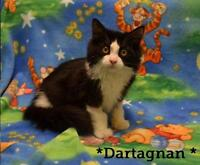 Baby Male  - Domestic Medium Hair-black and white