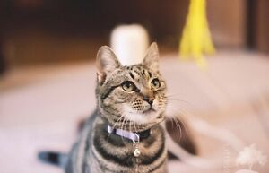 Lost Tabby Cat named Bullseye Ashby Wanneroo Area Preview