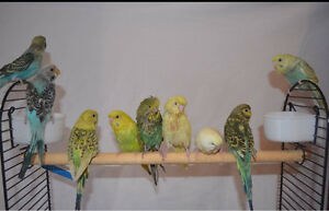 Beautiful hand raised budgies Capalaba Brisbane South East Preview