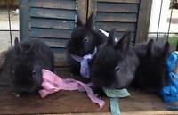 Netherland/Holland Lop kits--adorable baby bunnies