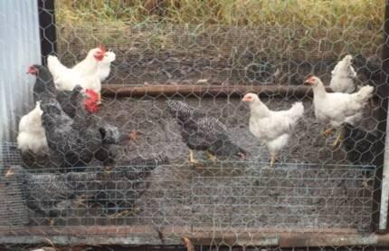 Plymoth Rock Chickens