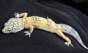 FEMALE LEOPARD GECKO IN NEED OF HOME *ASAP*