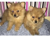 Pomeranian puppy's ready boy and girl